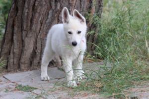 White-Swiss-Shepherd-Puppies-BTWWLPups-130619-0054