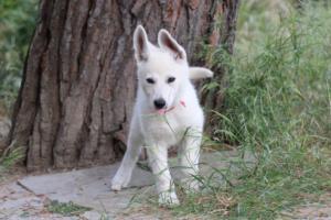 White-Swiss-Shepherd-Puppies-BTWWLPups-130619-0055