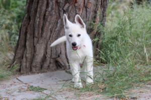 White-Swiss-Shepherd-Puppies-BTWWLPups-130619-0056