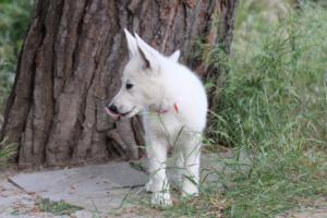 White-Swiss-Shepherd-Puppies-BTWWLPups-130619-0057