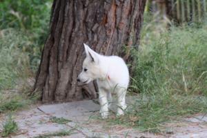 White-Swiss-Shepherd-Puppies-BTWWLPups-130619-0058