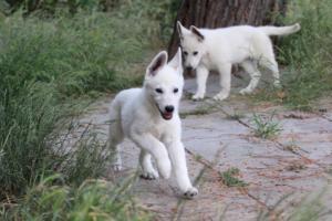 White-Swiss-Shepherd-Puppies-BTWWLPups-130619-0059