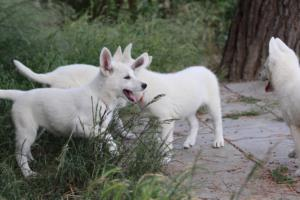 White-Swiss-Shepherd-Puppies-BTWWLPups-130619-0060