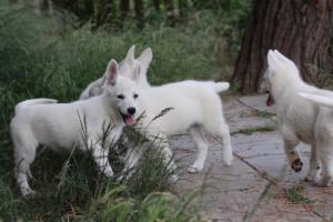 White-Swiss-Shepherd-Puppies-BTWWLPups-130619-0061