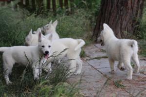 White-Swiss-Shepherd-Puppies-BTWWLPups-130619-0062