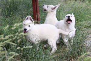 White-Swiss-Shepherd-Puppies-BTWWLPups-130619-0063