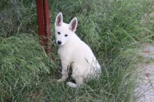 White-Swiss-Shepherd-Puppies-BTWWLPups-130619-0064
