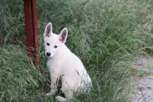 White-Swiss-Shepherd-Puppies-BTWWLPups-130619-0065