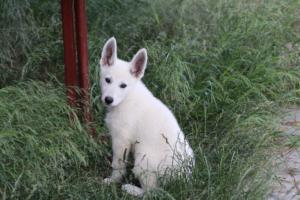 White-Swiss-Shepherd-Puppies-BTWWLPups-130619-0066