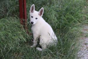 White-Swiss-Shepherd-Puppies-BTWWLPups-130619-0067