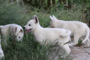 White-Swiss-Shepherd-Puppies-BTWWLPups-130619-0069