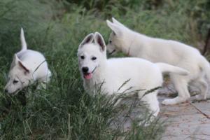 White-Swiss-Shepherd-Puppies-BTWWLPups-130619-0070