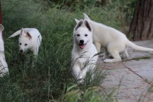 White-Swiss-Shepherd-Puppies-BTWWLPups-130619-0071