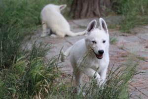 White-Swiss-Shepherd-Puppies-BTWWLPups-130619-0072
