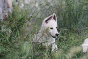 White-Swiss-Shepherd-Puppies-BTWWLPups-130619-0073