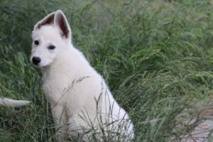 White-Swiss-Shepherd-Puppies-BTWWLPups-130619-0074