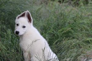 White-Swiss-Shepherd-Puppies-BTWWLPups-130619-0075