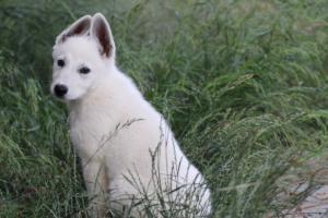 White-Swiss-Shepherd-Puppies-BTWWLPups-130619-0076