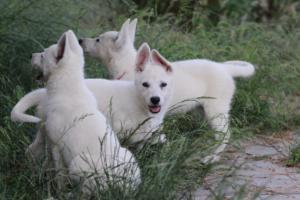 White-Swiss-Shepherd-Puppies-BTWWLPups-130619-0077
