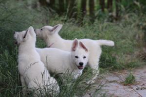 White-Swiss-Shepherd-Puppies-BTWWLPups-130619-0078