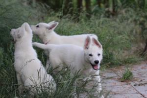 White-Swiss-Shepherd-Puppies-BTWWLPups-130619-0079