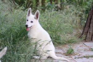 White-Swiss-Shepherd-Puppies-BTWWLPups-130619-0081