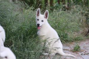White-Swiss-Shepherd-Puppies-BTWWLPups-130619-0082