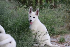 White-Swiss-Shepherd-Puppies-BTWWLPups-130619-0083