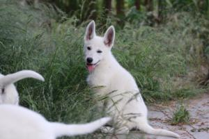 White-Swiss-Shepherd-Puppies-BTWWLPups-130619-0084