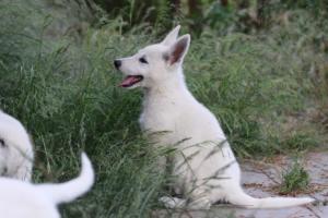 White-Swiss-Shepherd-Puppies-BTWWLPups-130619-0085