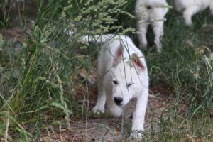 White-Swiss-Shepherd-Puppies-BTWWLPups-130619-0086