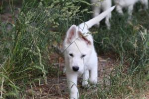 White-Swiss-Shepherd-Puppies-BTWWLPups-130619-0087
