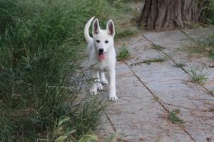White-Swiss-Shepherd-Puppies-BTWWLPups-130619-0088