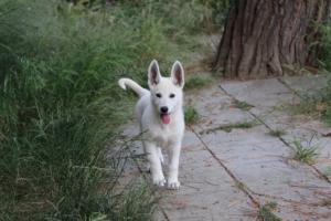 White-Swiss-Shepherd-Puppies-BTWWLPups-130619-0089