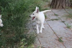 White-Swiss-Shepherd-Puppies-BTWWLPups-130619-0090