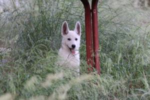 White-Swiss-Shepherd-Puppies-BTWWLPups-130619-0091