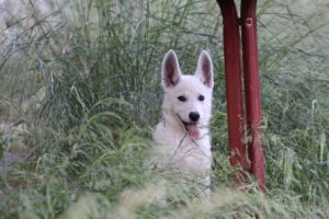 White-Swiss-Shepherd-Puppies-BTWWLPups-130619-0092
