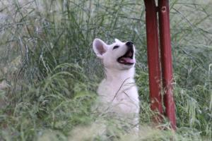 White-Swiss-Shepherd-Puppies-BTWWLPups-130619-0093