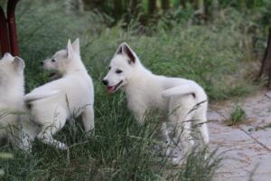 White-Swiss-Shepherd-Puppies-BTWWLPups-130619-0094