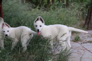 White-Swiss-Shepherd-Puppies-BTWWLPups-130619-0095