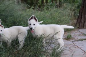 White-Swiss-Shepherd-Puppies-BTWWLPups-130619-0096