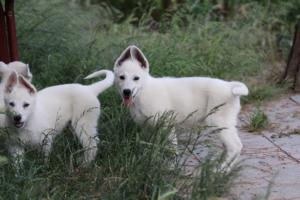 White-Swiss-Shepherd-Puppies-BTWWLPups-130619-0097