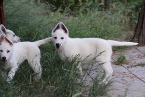 White-Swiss-Shepherd-Puppies-BTWWLPups-130619-0098