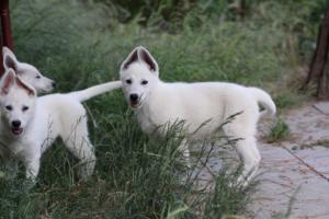 White-Swiss-Shepherd-Puppies-BTWWLPups-130619-0099