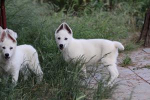 White-Swiss-Shepherd-Puppies-BTWWLPups-130619-0100