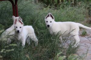 White-Swiss-Shepherd-Puppies-BTWWLPups-130619-0101