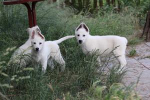 White-Swiss-Shepherd-Puppies-BTWWLPups-130619-0102