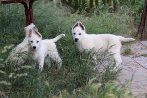 White-Swiss-Shepherd-Puppies-BTWWLPups-130619-0103