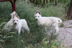 White-Swiss-Shepherd-Puppies-BTWWLPups-130619-0104