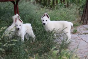 White-Swiss-Shepherd-Puppies-BTWWLPups-130619-0105
